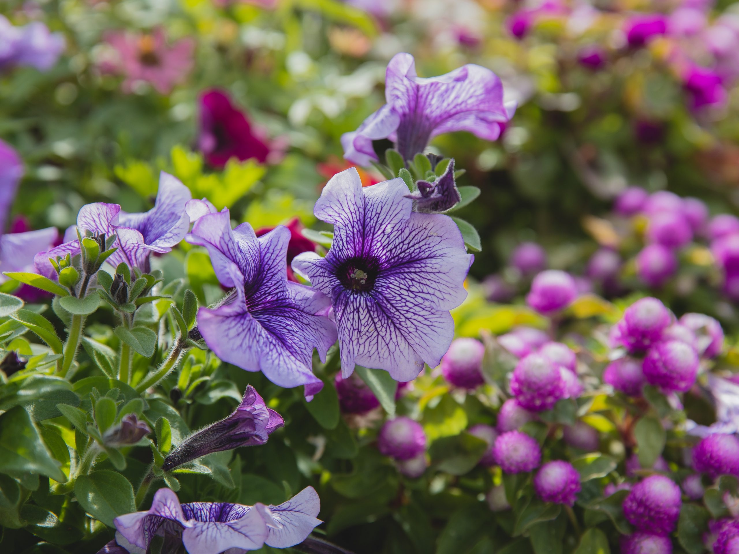 a garden with the purple flowers